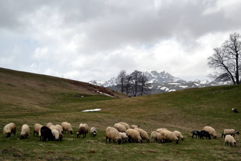 Sheep grazing on Durmitor