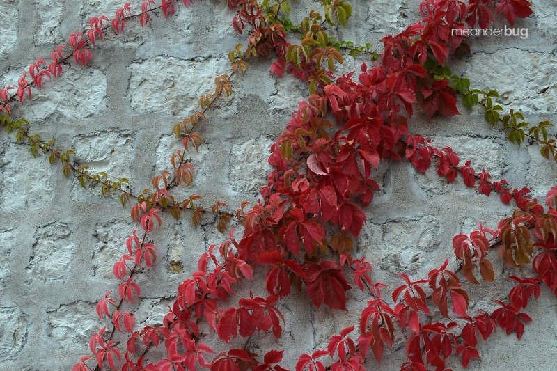 sveti-stefan-ivy-2