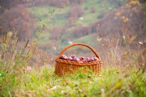 Basket full of organic apples