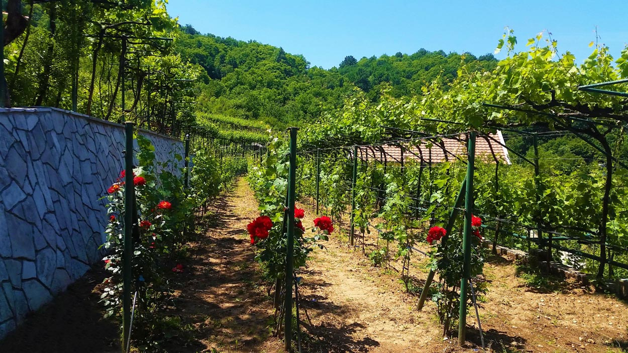 Roses protecting the vineyards