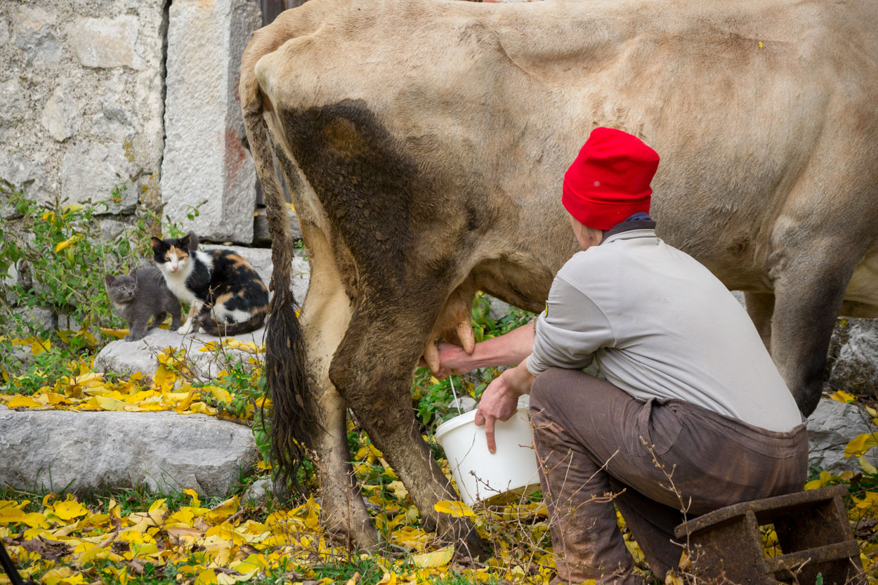 Milking the cow before making lisnati cheese in Lipovo Village