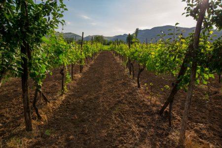 Family vineyard at the Zeta Farm Stay near Podgorica