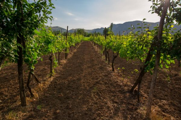 Family vineyard at the Zeta Farm Stay near Podgorica