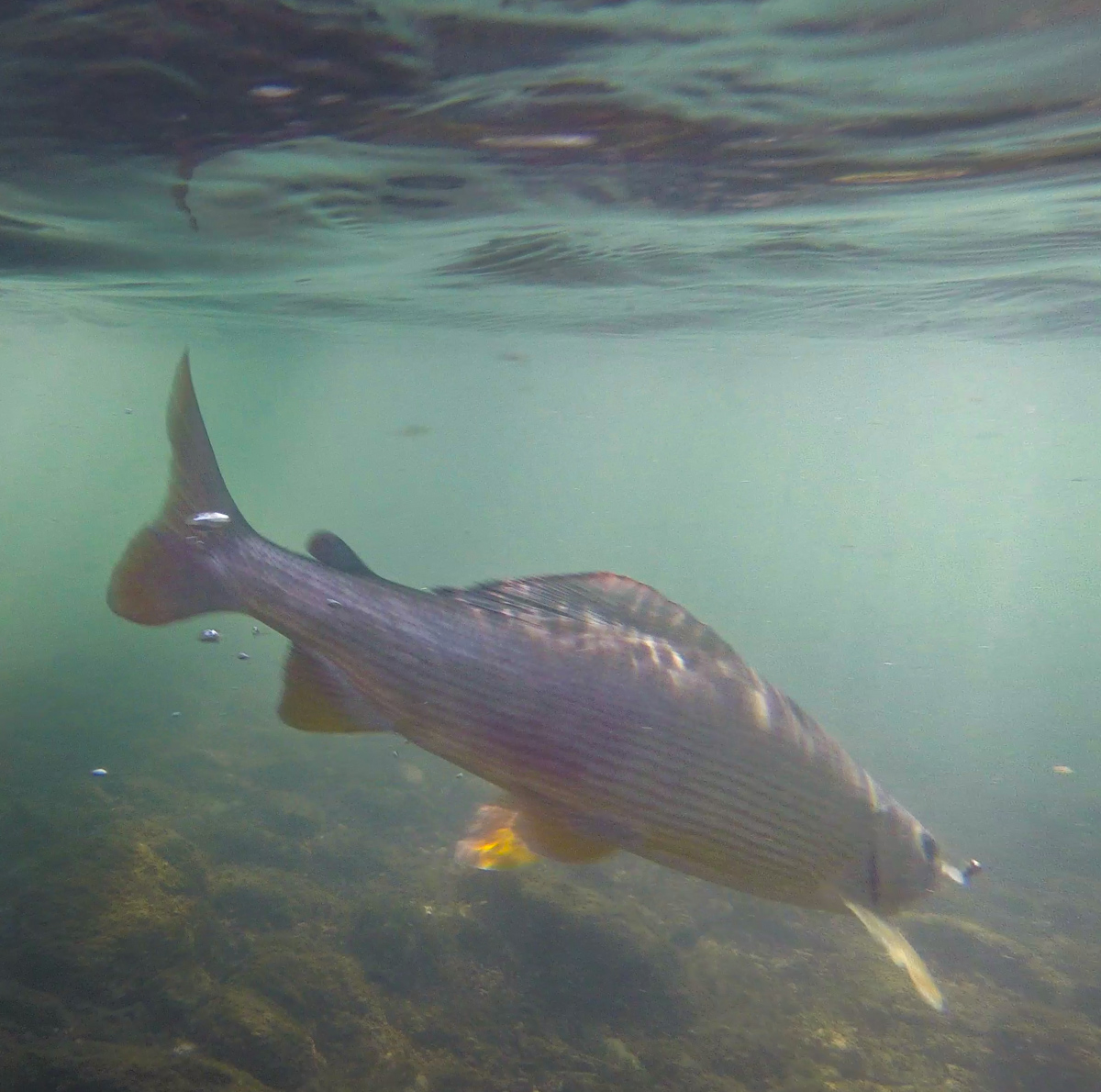 Grayling underwater in Lim River