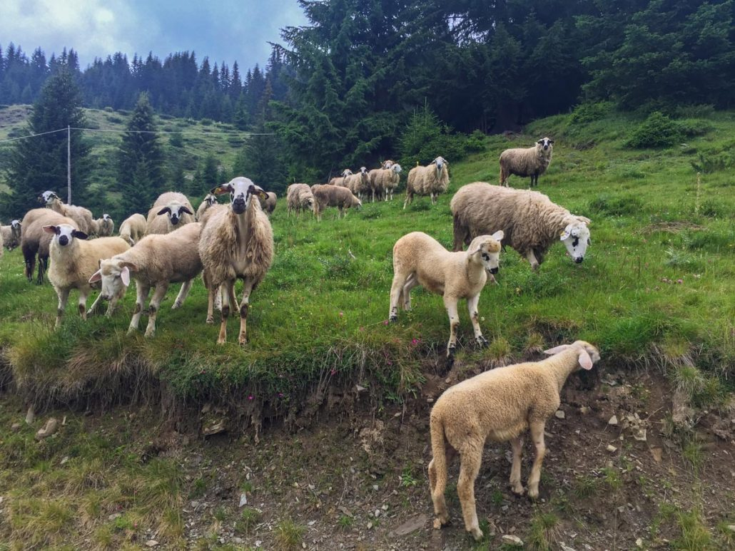 Sheep at Cakor Katun