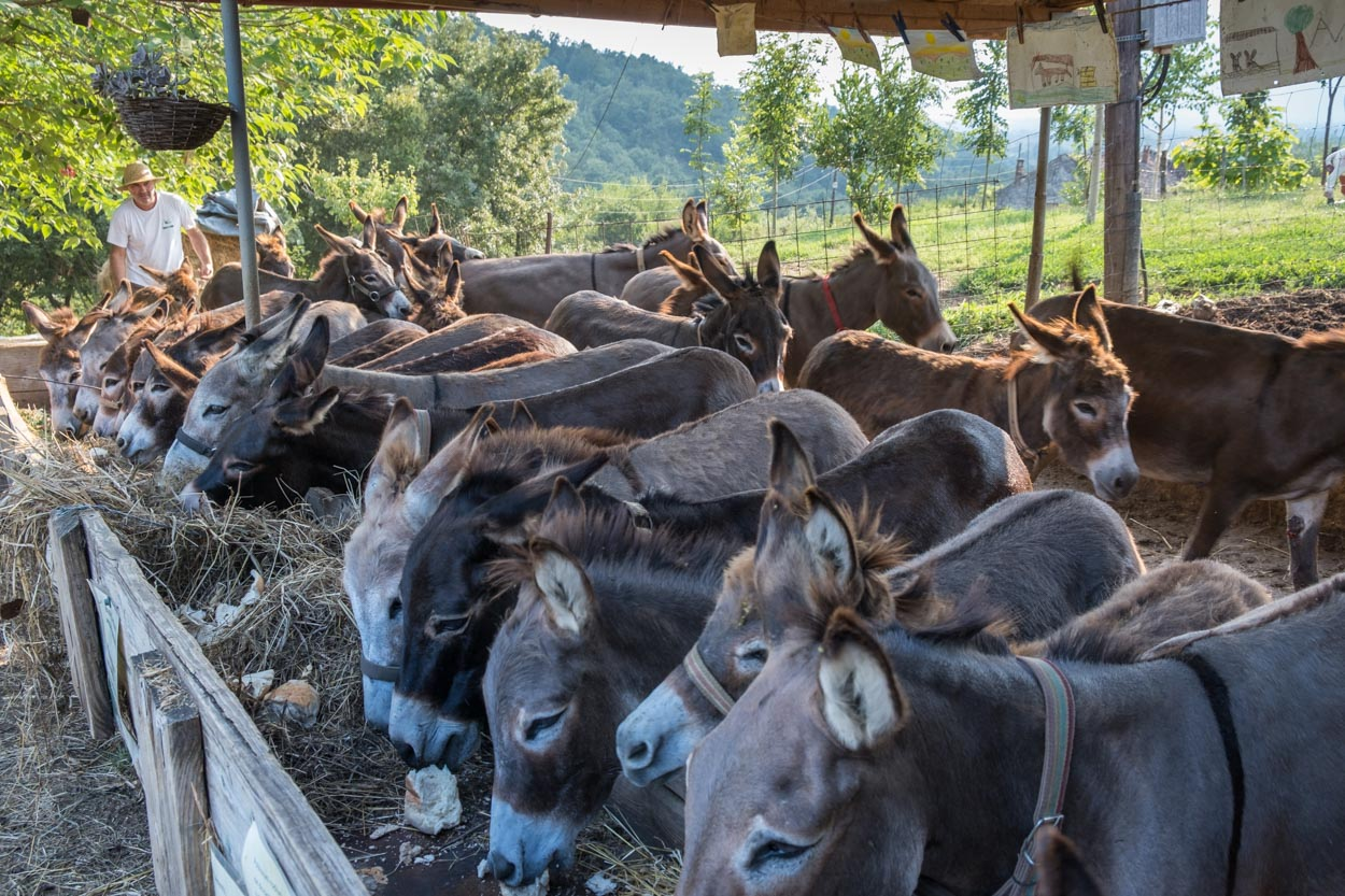 Donkeys lined up for dinner